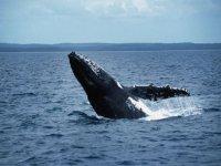 Salto de ballena