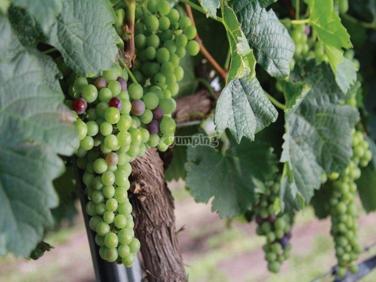 La uva para hacer cava