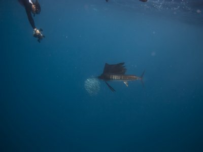 Snorkeling with sailfish and lunch in Cancún