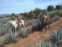 Agave fields horseback riding
