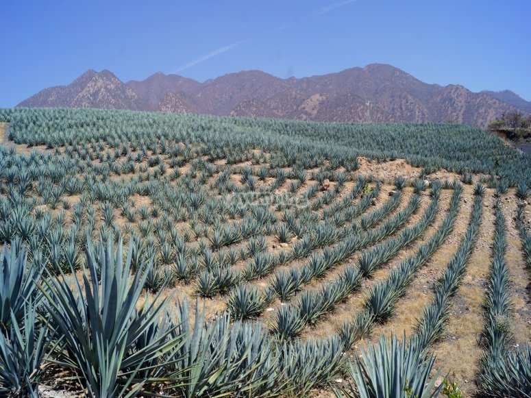 Agave crops