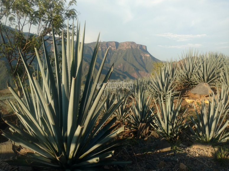 Visit closely the agave crops
