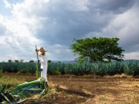 Know the treatment of the maguey