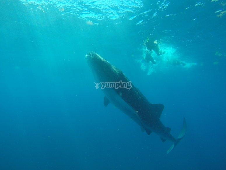 nada con el tiburon ballena