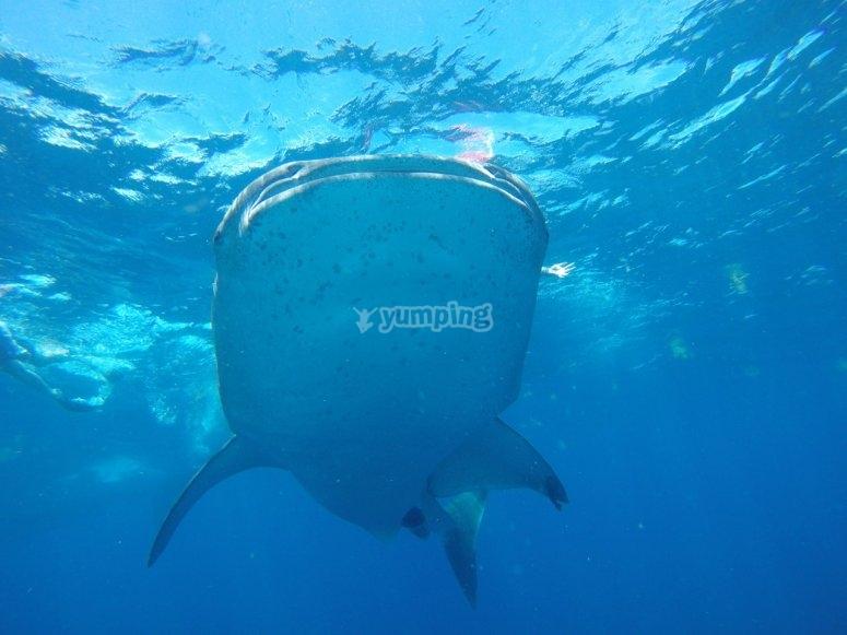 snorkelea con el tiburon ballena