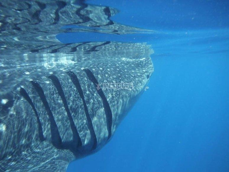 Tiburón ballena en las costas de Cancún