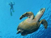 Snorkeling y tortuga