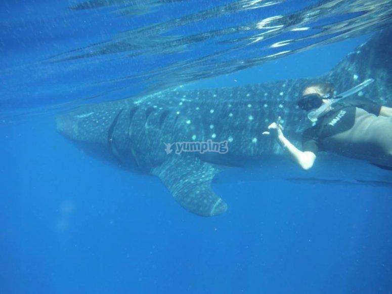 Saludando al tiburón ballena