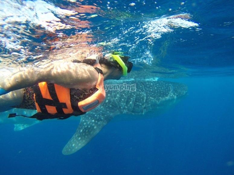 snorkelea con el tiburón ballena