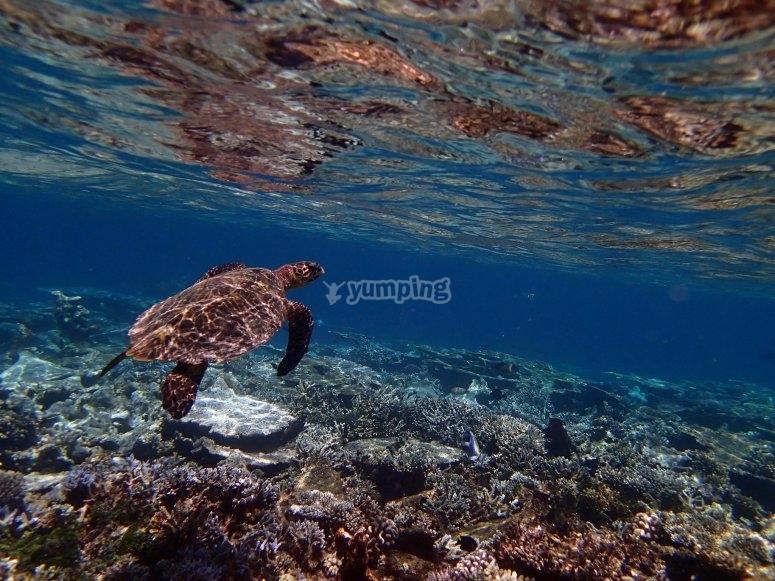 Tortuga Marina en Islas Marietas