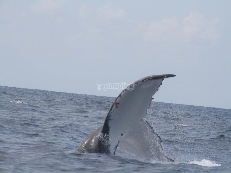 Ballenas jorobadas en punta de mita