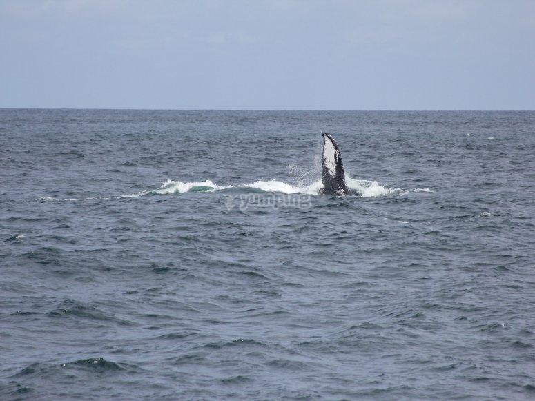 Ballenas jorobadas en nayarit