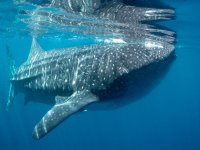 Meet the whale shark