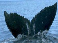 Coleteo de ballena