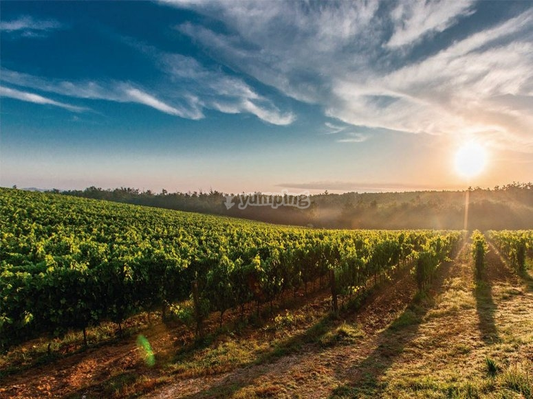 Flying over vineyards