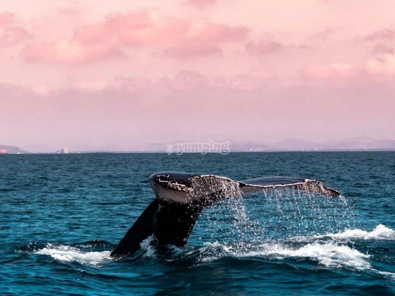 Whale jumping along with the sunset