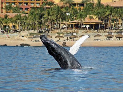 Whale Watching in Los Cabos 2 hours