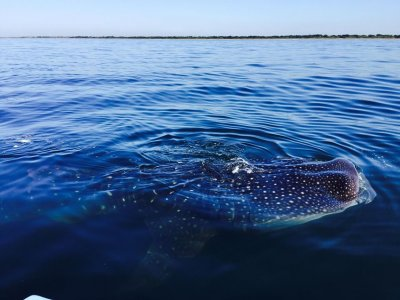 Sighting and swimming with whale shark San Blas