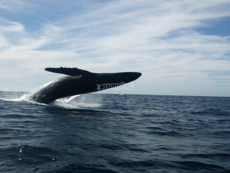 Ballena jorobada en el Pacifico