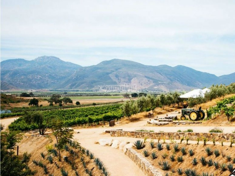 Vineyards in Baja California