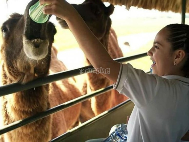 Sharing food with camels