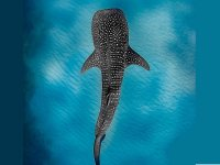 Swimming with whale shark on yacht Riviera Maya