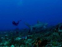 Buceo junto a tiburón
