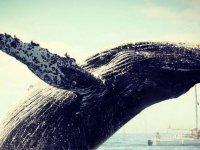 Las ballenas migran a playas mexicanas en invierno