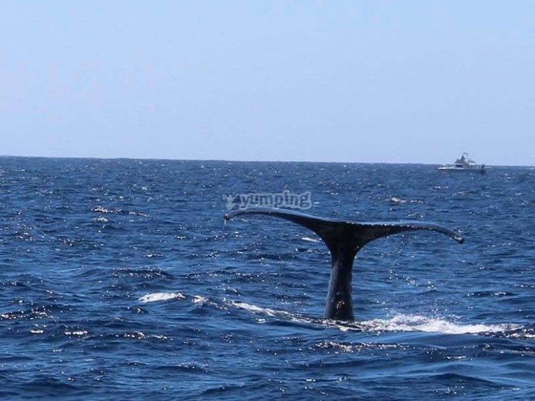 Avistamiento de ballenas de diciembre a marzo