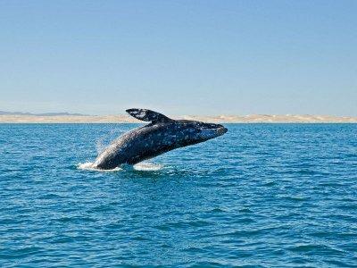 Avistamiento Ballenas Jorobadas en Los Cabos 1 día