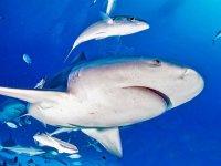 Buceo con Tiburón Toro en Playa del Carmen 2 horas