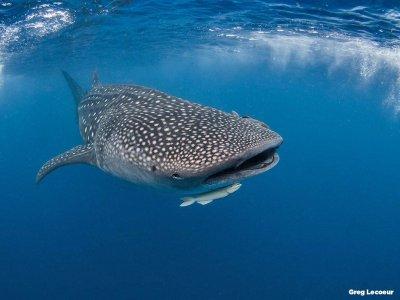 Snorkel con tiburón ballena en Riviera Maya 1 día