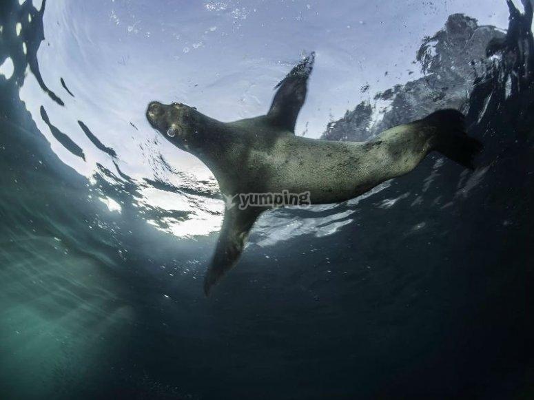 Podrás nadar con lobos marinos