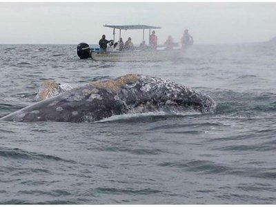 Avistamiento de ballenas en Bahía Magdalena 6 hrs