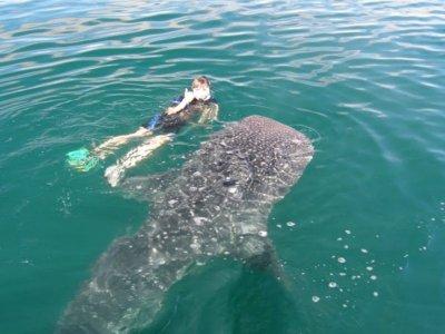 Swim with Whale Shark Bahía de los Ángeles 4 d