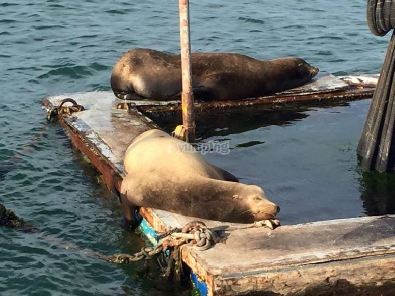 Lobos marinos descansando