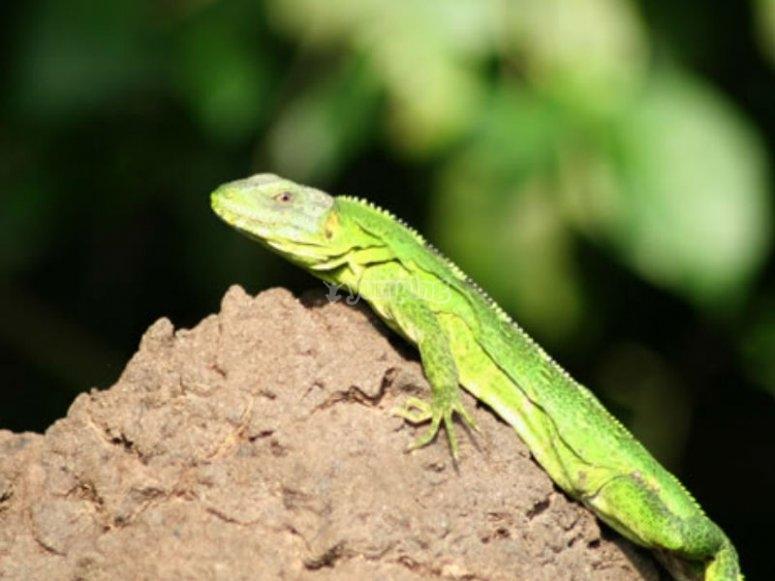 Iguana en el recorrido