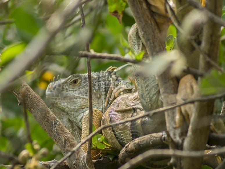 Encuentro con iguanas