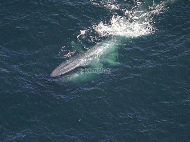Ballena azul y su impresionante tamaño