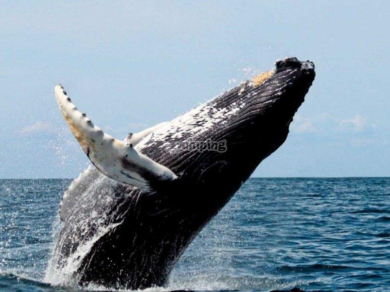 Podemos encontrarnos también con ballenas jorobadas