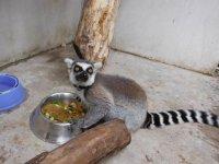 Julien el lemur