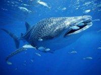 Nado con Tiburón Ballena Isla Mujeres desde Akumal