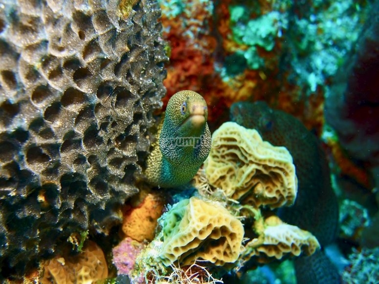 Behold spotted moray eels under the water