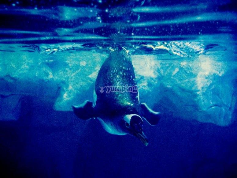 Penguin jumping