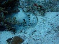 Manta Raya in snorkeling