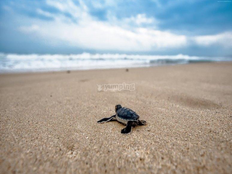 Releasing turtle