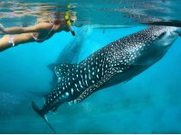 Swim with Whale Shark and snorkel in La Paz 8hrs