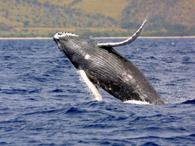 Humpback whale watching in Zihuatanejo