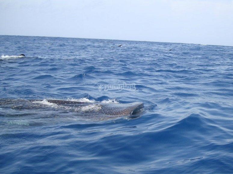 Tiburon ballena asomándose