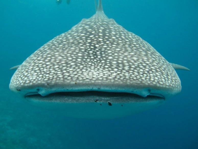Tiburón ballena en Bahía de La Paz